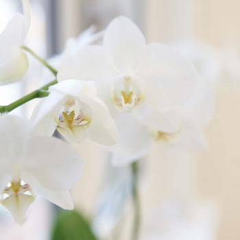 HerrLindner - Salon - Orchidee